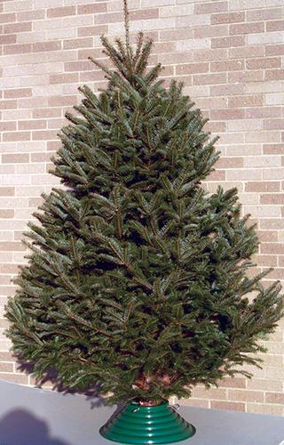 - Fresh-cut Balsam Fir Christmas Tree At Menards®